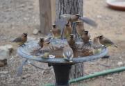 Cedar Waxwing birds