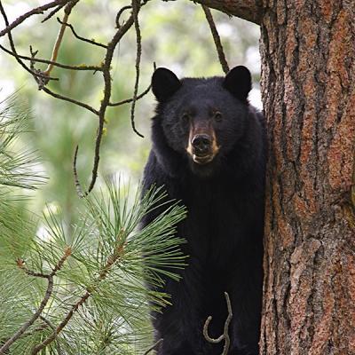 71923-black-bear1.jpg