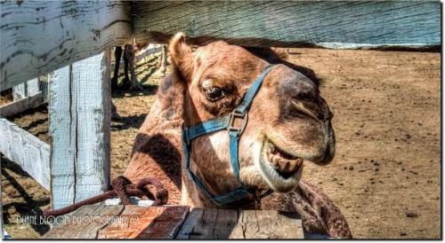 72360-camel1.jpg