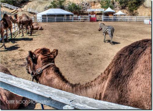 72360-camel3.jpg