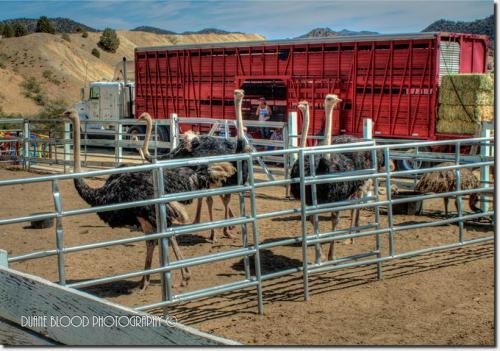 72360-ostrich1.jpg
