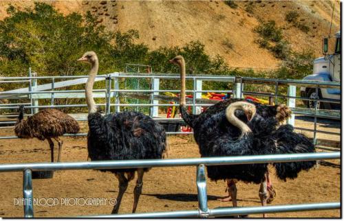 72360-ostrich2.jpg