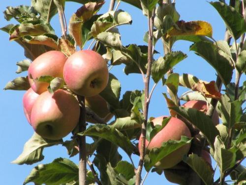 72433-feature_01_apples.jpg